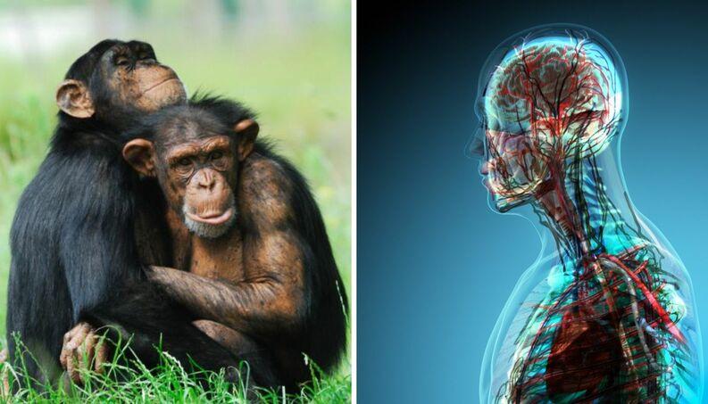 El primer híbrido humano-mono ya está desarrollándose en China