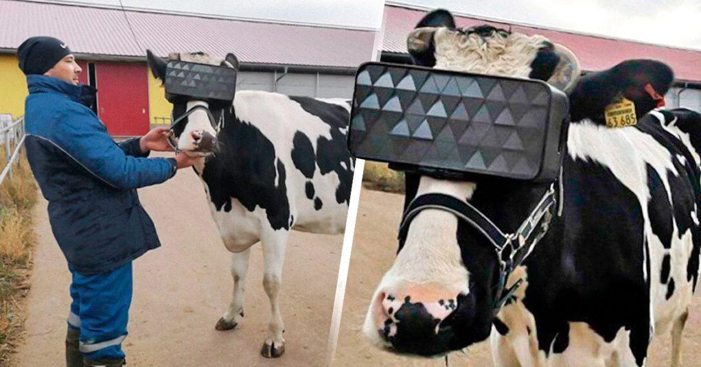 Usan lentes de realidad virtual para hacer sentir libres a vacas lecheras